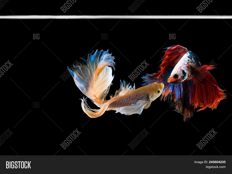 Halfmoon Betta Image & Photo (Free Trial)   Bigstock