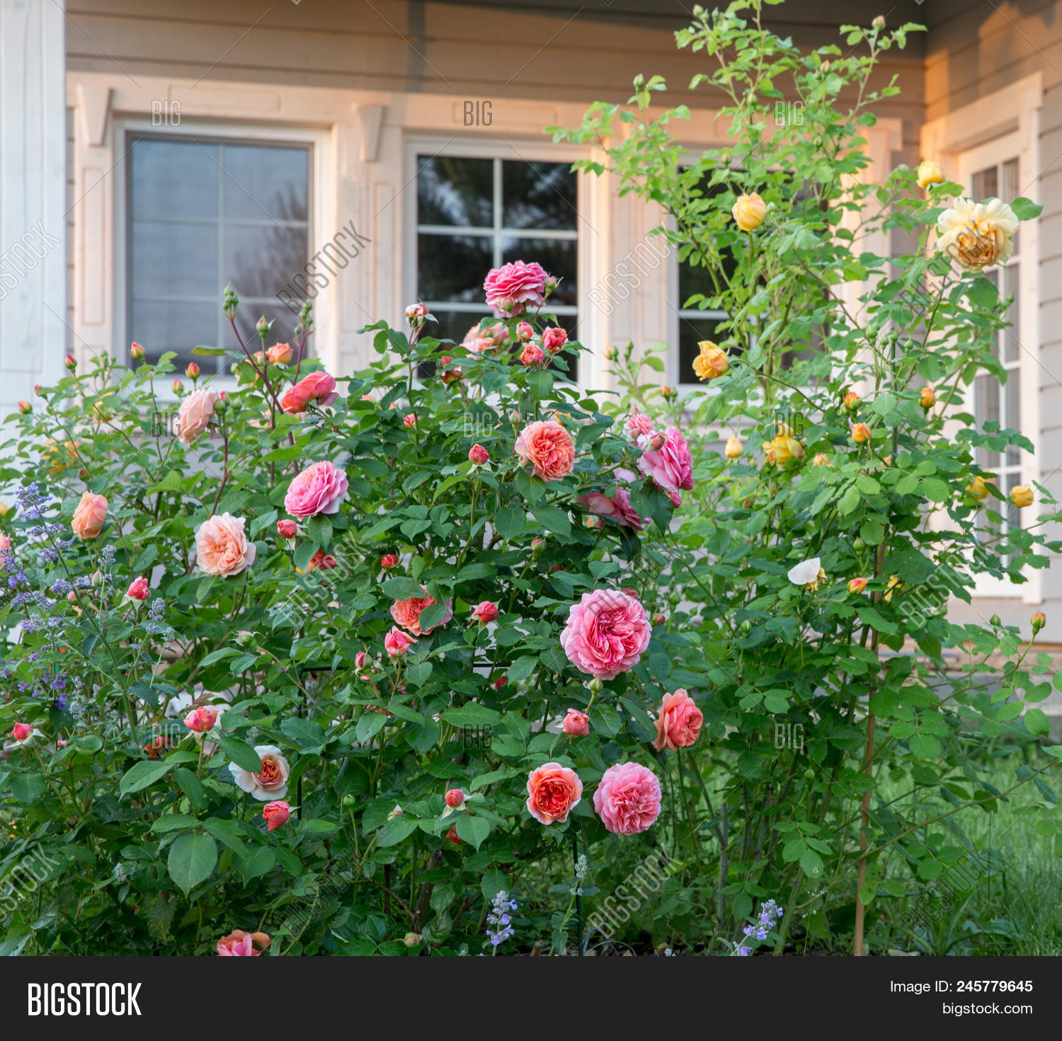 English Roses Garden Pink Yellow And Orange Colors Outside A Country House Scandinavian