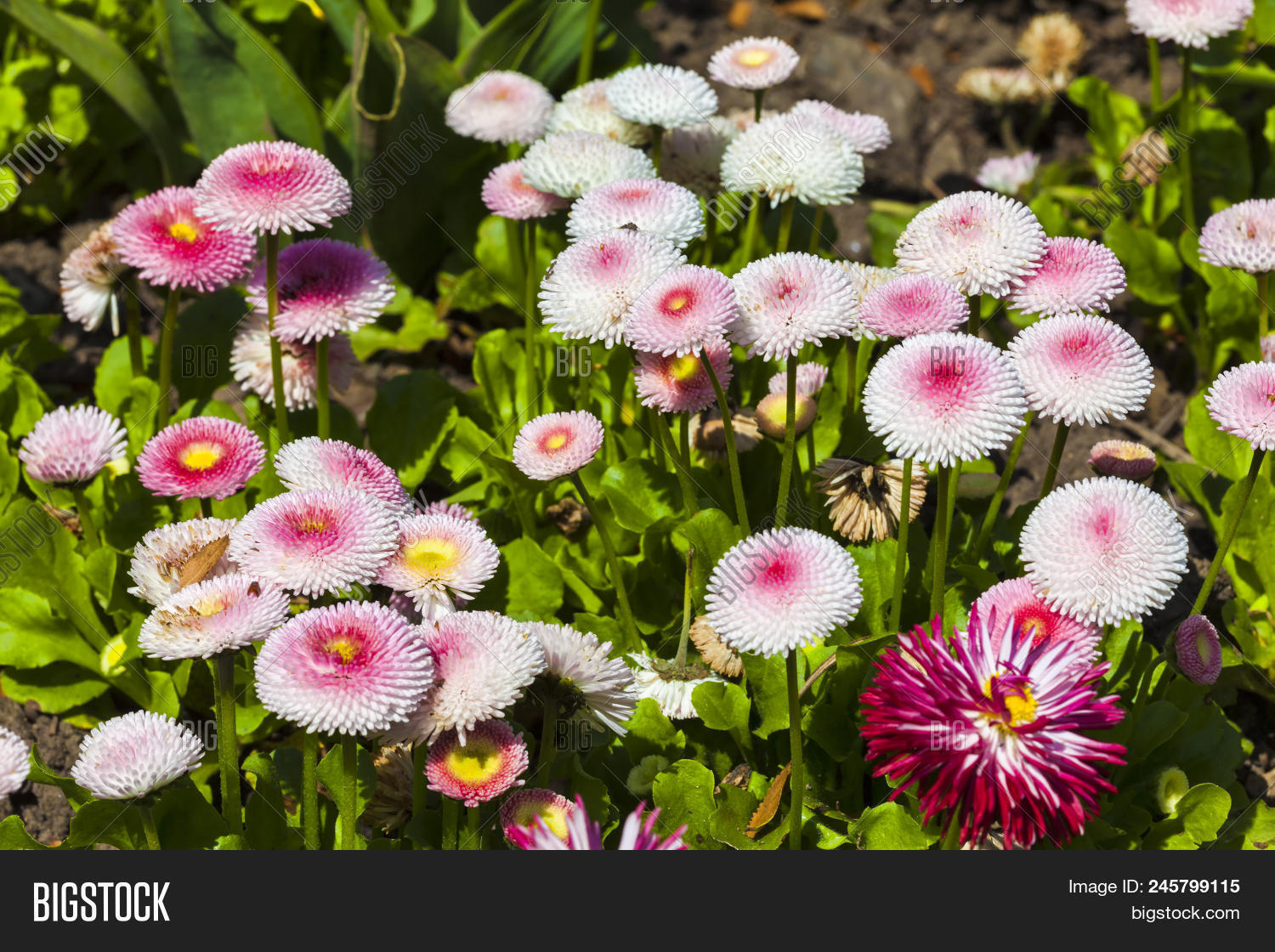 Pink bellis perennis image photo free trial bigstock pink bellis perennis a common pompom type daisy herbaceous perennial hardy garden flower plant izmirmasajfo
