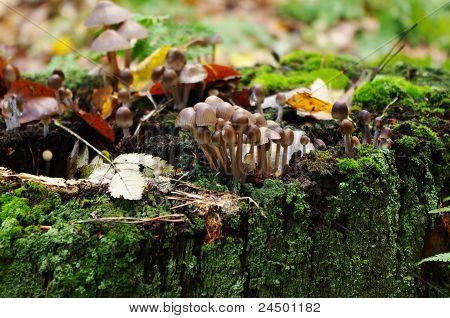 Mushrooms (kuehneromyces Lignicola)
