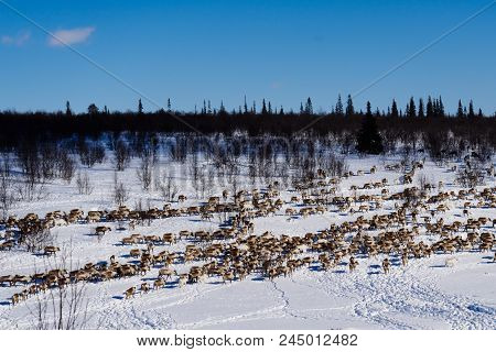 In The Far Cold North, Across The Snow-covered Field, Runs A Herd Of Wild Reindeer, Under The Cold C