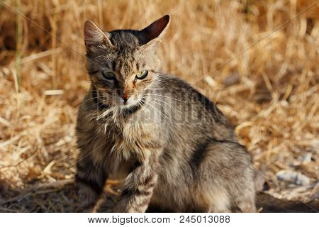 Portrait Of Feral Striped Cat In The Countryside. Photography Of Nature And Wildlife.