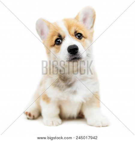 Cute Puppy Welsh Corgi Pembroke  Is Looking At Camera And Asking. Beautiful Puppy Dog Isolated On  W