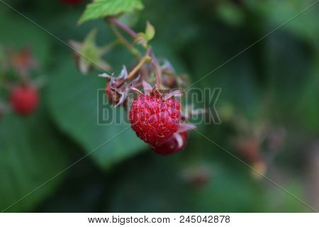 Ripe raspberry on the branch in the garden. Fresh raspberry bush. Juicy red berries. Delicious and healthy food. A healthy way of life. Sweet raspberry macro. Jam of raspberries. Summer berries