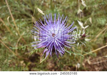 Top Down Close Up Of A Spiky Purple Thistle (cynareae) Flower Growing In The Algarve Countryside, Po