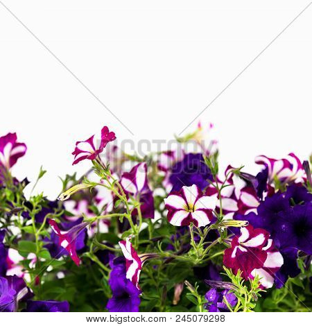 Petunia Background For Text Card Concept. Selective Focus.