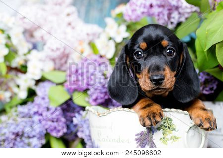 dachshund puppy brown tan color and lilac purple