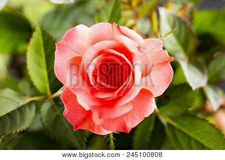 Pink Rose In Close Up
