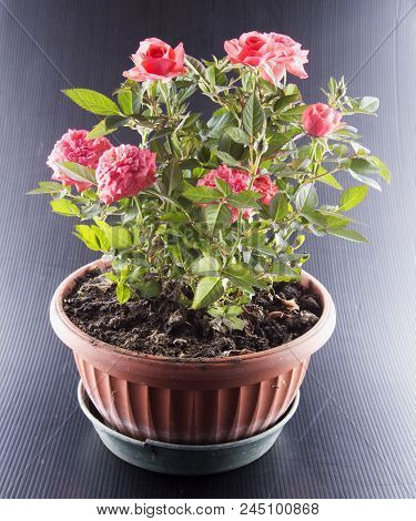 Pink Roses In A Flowerpot