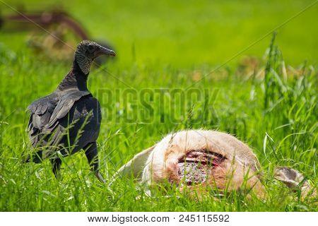 American Black Vulture Feasting On Dead Deer Carcass In Summer Grass