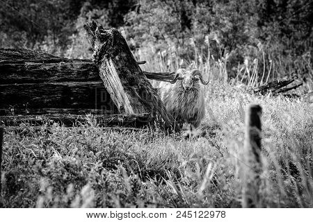 Raw And Rough-looking Scene With Natural Wild Sheep Looking From Behind A Pile Of Cut Trees. Curious