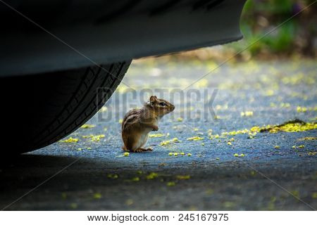 North American Chipmunk Exploring The Driveway Early Spring
