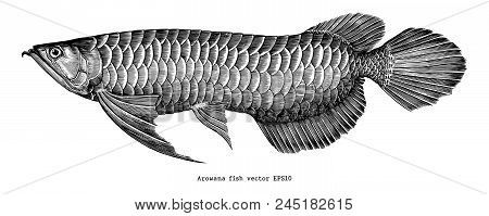 Arowana Hand Drawing Vintage Clip Art Isolate On White Background