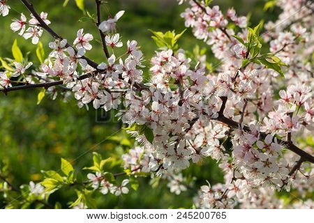 Flowering Branch Of A Cherry Tree Closeup