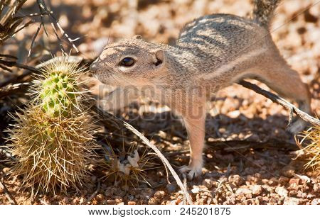 An Arizona Ground Squirrel Trying To Figure Out How To Eat This Spiny Cholla Cactus.