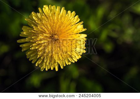 Yellow Flower Of A Lone Dandelion Close-up