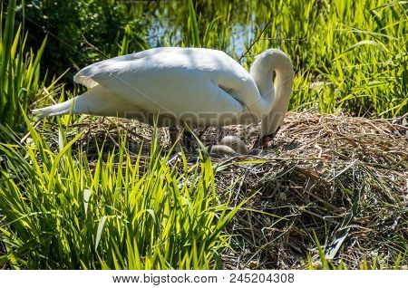 A Swan Fixing Her Eggs At The Side Of A Lake.