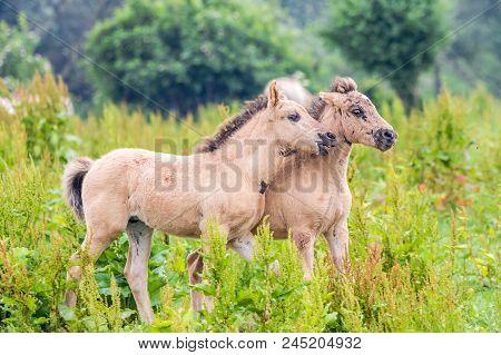 Wild Konik Horse Foals Playing Together In The Dutch Oostvaardersplassen Nature Reserve