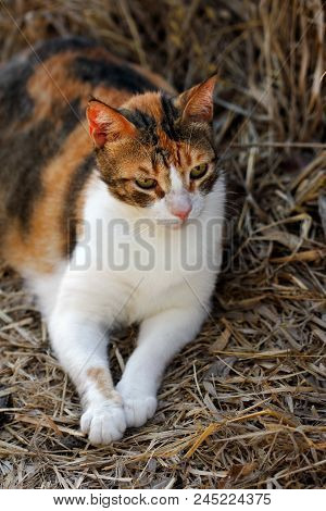 Portrait Of Feral Tricolor Cat In The Countryside. Photography Of Nature And Wildlife.