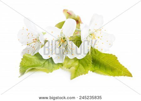 Branch Of Cherry Tree With Flowers Isolated On White Background