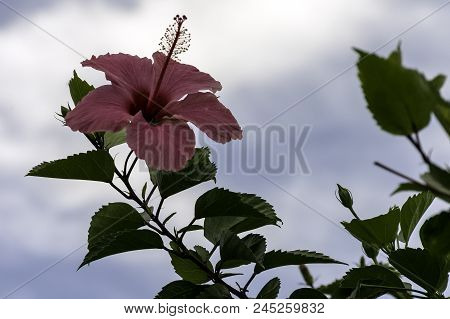 Pink Hibiscus Rosa-sinensis, Known As Chinese Hibiscus, China Rose, Hawaiian Hibiscus, Rose Mallow A