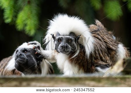 Cotton - Top Tamarin (saguinus Oedipus) Little Monkeys