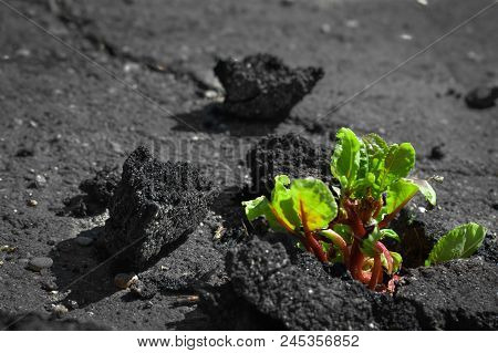 Sprout Green Plants Sprouted In The Asphalt Did Crack. Shallow Depth Of Field