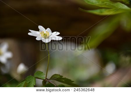 Closeup Of A Single Windflower On The Ground In A Low Angle Image