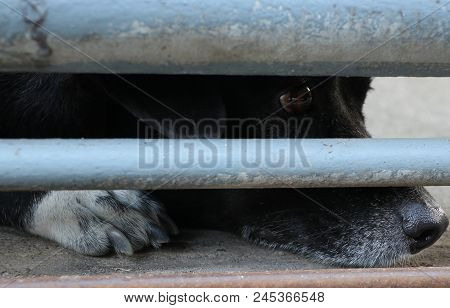 The Eye Of Loneliness Dog Black Color Sadness In The Metal Old Fence, Might Be Want The Freedom Or W
