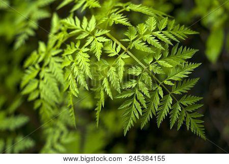 Vegetative Background - Bright Green Leaf Of A Poison Hemlock Closeup On A Dark Blurred Background (
