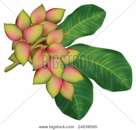 Pistachio Tree Branch With Fruits And Leaves.