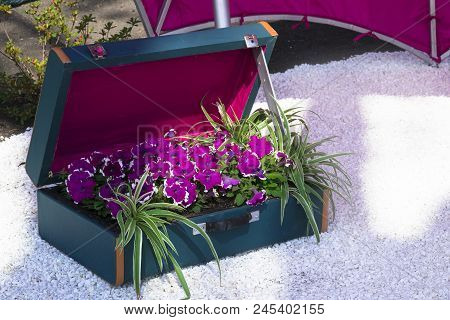 Bright Purple Flowers Of Petunia In A Blue Suitcase. In The Garden A Composition Of Flowers In A Sui