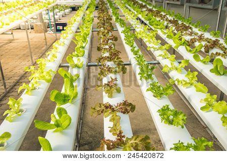 Organic Hydroponic Vegetable Cultivation Farm,red Oak, Green Oak,  Cultivation Hydroponic Green Vege