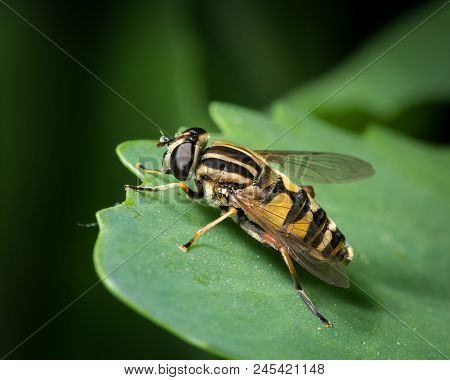 A Small Black Yellow Hoverfly (helophilus Pendulus, Family Syrphidae) Sitting On A Green Leaf