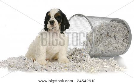puppy sitting in recycled paper - american cocker spaniel puppy - 8 weeks old