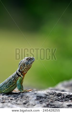 A Male Eastern Collard Lizard From North Western Missouri.