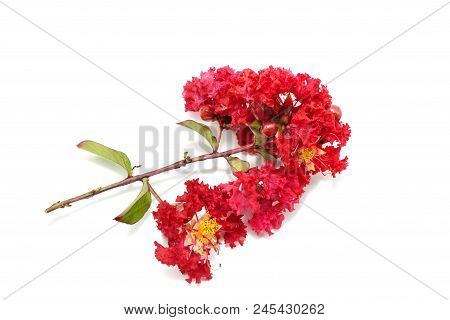 Crape Myrtle Flower Isolated On White Background, Red Flower On White Background,  (lagerstroemia In