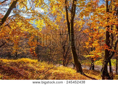 Forest On The Hillside In Orange Foliage. Lovely Nature Scenery On A Bright Day In Carpathian Mounta