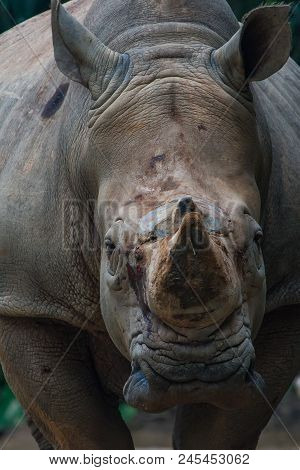 Close Up Of A  Young White Rhino Making Eye Contact