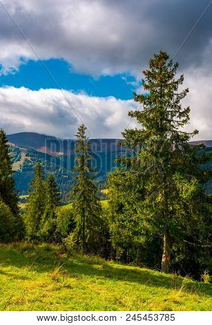 Huge Spruce Trees Of Carpathian Forests. Beautiful Scenery On A Cloudy Day. Mountain Hymba Of Borzha