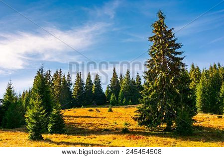 Grassy Glade Among The Spruce Forest In Autumn. Huge Tree In Front Of A Scene. Beautiful Nature Back