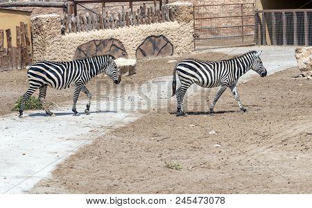 Two Zebras Walking Across A Stone Path