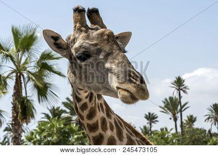 A Cloesup Of The Face Of A Giraffe