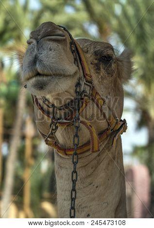 A Closeup View Of A Camels Face