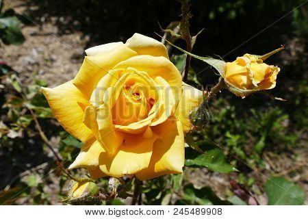 Yellow Rose, Yellow Rose In The Garden. Close-up Yellow Rose, Love And Yellow Rose