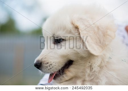 Close-up Portrait Of A Cute Maremma Puppy. Profile Image Of Adorable White Fluffy Puppy Breed Maremm