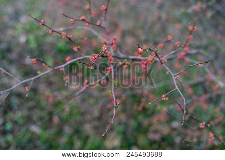 quince plant with ripe red fruits, chaenomeles speciosa rosaceae poster