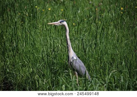 Grey White Heron Waiting In Grass Searching For Food In The Netherlands.