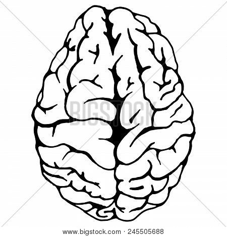 Brain. Vector Illustration Of A Human Brain. Hand Drawn Doodle Medical Brain.
