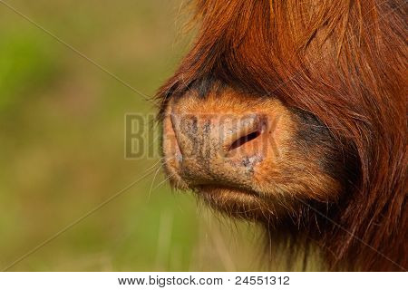 Snout Of A Red Highland